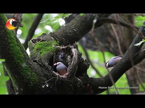 Miris Banget....!!! Burung Asli Indonesia yang di Klaim milik Belanda