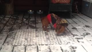 Beans The Hotdog Shakes Off The Snow - Mini Dachshund