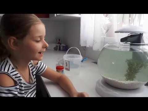 Вопрос: Как почистить круглый аквариум бойцовой рыбки?