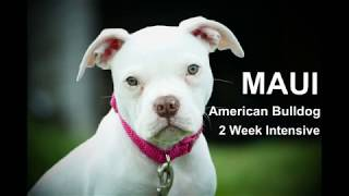 Maui - 13 Week Old American Bulldog Puppy - 2 Weeks Intensive Board & Train Course