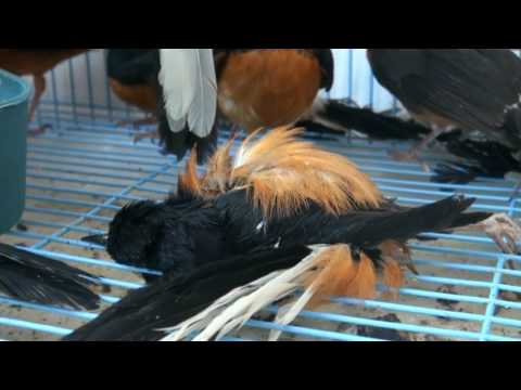 Ratusan Burung Sitaan BKSDA, salahsatunya jenis Beo Kalimantan