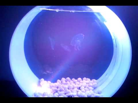 Moon Jellyfish From JellyfishArt And Kickstarter