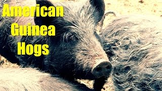 Getting Our American Guinea Hogs