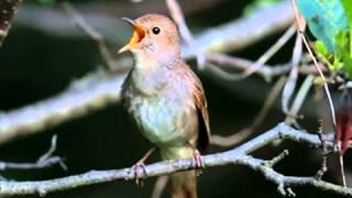 Kicau Burung SIKATAN LONDO Gacor Untuk Masteran, Durasi Panjang