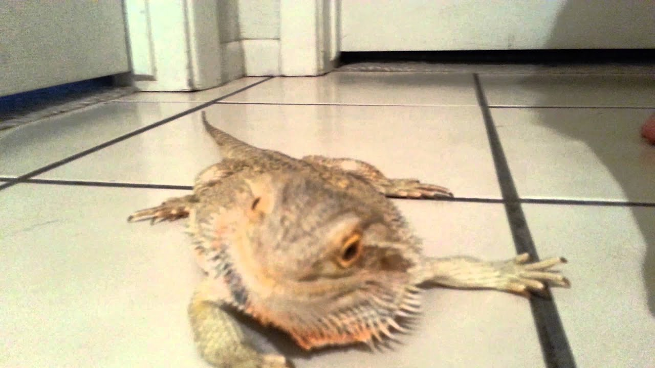 Bearded Dragon running around the house - YouTube