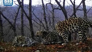 Впервые удалось запечатлеть процесс вскармливания самкой дальневосточного леопарда