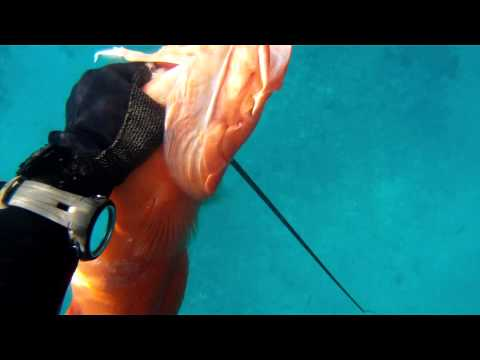 Spearfishing Okinawa 3 Large SHARKS 12lb Coral Trout GoPro Hero 2