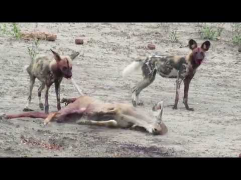 African Wild Dogs Kill Kudu Female(GRAPHIC CONTENT)