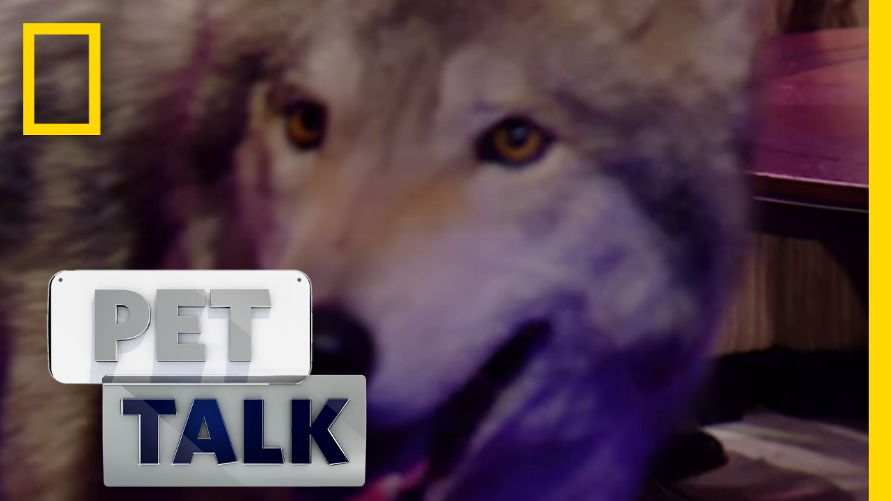 Wolf Dogs are a Dangerous Trend   Pet Talk   YouTube Wolf Dogs are a Dangerous Trend   Pet Talk