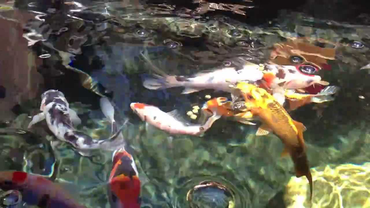 My koi pond with crystal clear water youtube for How to make koi pond water clear