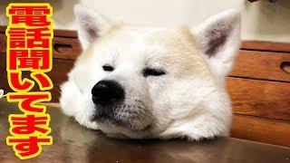 秋田犬・そうすけ君、のんびりマッタリ中、 ママちゃんの長電話を聞いて...