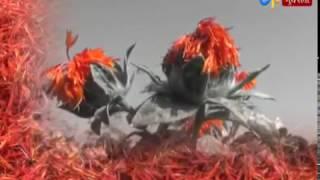 Patan: Farmer Cultivated American Saffron in Undra village of Patan_Etv News Gujarati