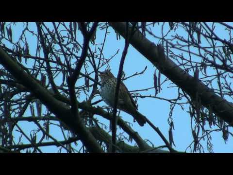 Song Thrush (Turdus philomelos) / Singdrossel [1]