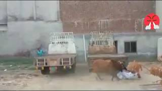Man Fight With Dangerous Bull