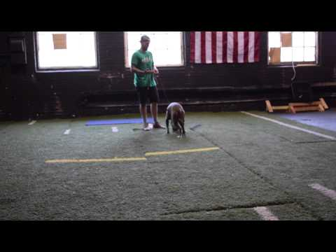 Saving a massive Pitbull from the euthanasia list in NYC shelter - America's Canine Educator-