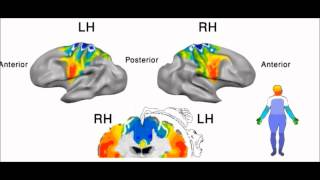 Brain activations in the primary motor cortex in response to movement of different body parts