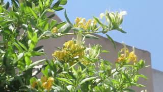Ароматная Жимолость японская!(Lonicera japonica)Кирьят-Ям.Израиль.Kiryat-Yam. Israel.