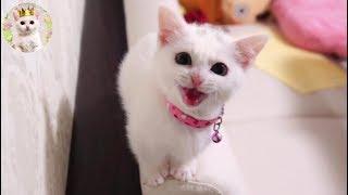 「にゃーーーー!」と鳴く子猫ラム Munchkin cat