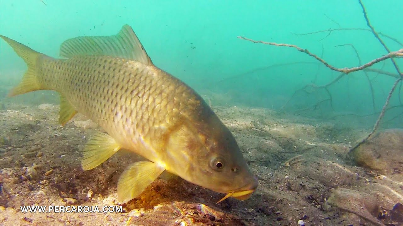 Pesca de carpa con lombr z de tierra y los barbos ni caso for Carpa comida