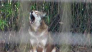Howling Red Wolves at The Texas Zoo