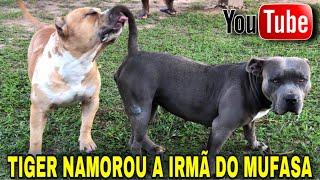 🔥TIGER CRUZOU COM A IRMÃ DO MUFASA @CANIL MONTE DOS SOARES