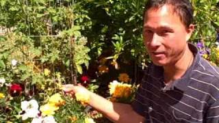 Learn how I handle Tomato Fungi and Spot Wilt Virus in my garden