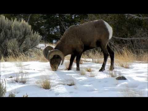 Winter Wildlife East of Yellowstone