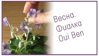 Весна. Фиалка Oui Ben(Немножко подснежников под окном и миниатюрная фиалка Oui Ben. Другие видео по уходу за фиалками и другими..., 2015-03-02T17:32:14.000Z)