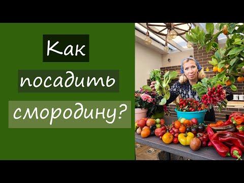 Как посадить смородину?