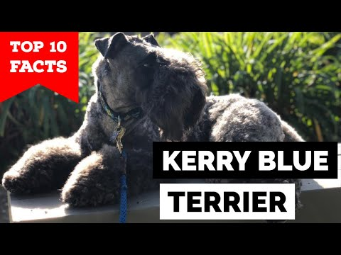 Kerry Blue Terrier  Top 10 Facts