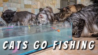 Cats go fishing | Do Maine Coon cats really like water?