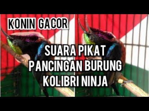 Suara Pikat Burung Kolibri Ninja