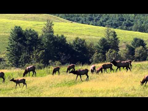 Pennsylvania Elk Rut 2013