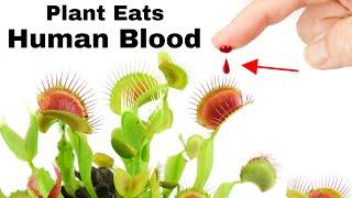 Feeding a Venus Flytrap Human Blood