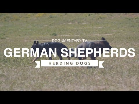 GERMAN SHEPHERDS HERDING