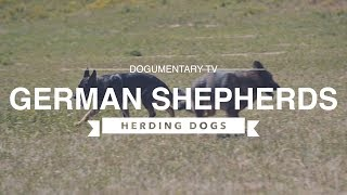 GERMAN SHEPHERDS HERDING