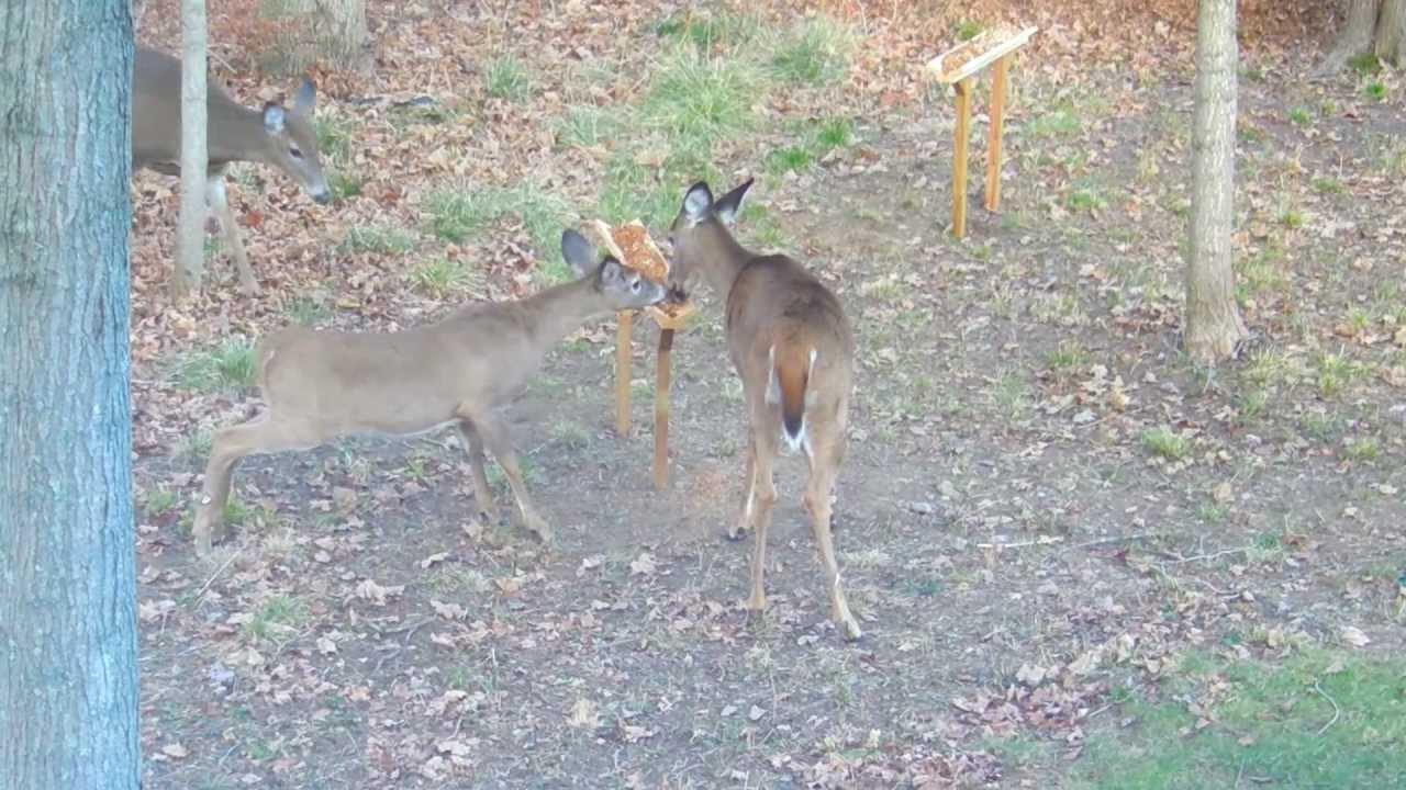 Home made deer feeder backyard in Guilford, CT - YouTube