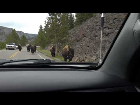 Bison in Yellowstone almost got us!!