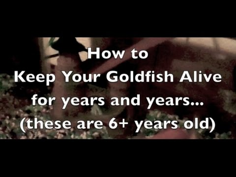 How To Keep Your Goldfish Alive For Years
