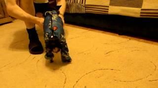 видео Вязаный костюм для собаки «Супермен»
