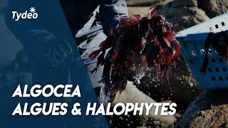 Algocea - Producteur algues marines et halophytes -TYDEO GREEN