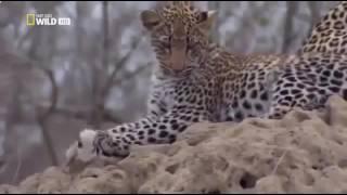 Дикая Африка  Мир хищников  Леопарды  Документальный фильм National Geographic