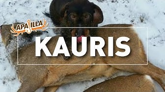 Jakso 3/2019 - Kauris