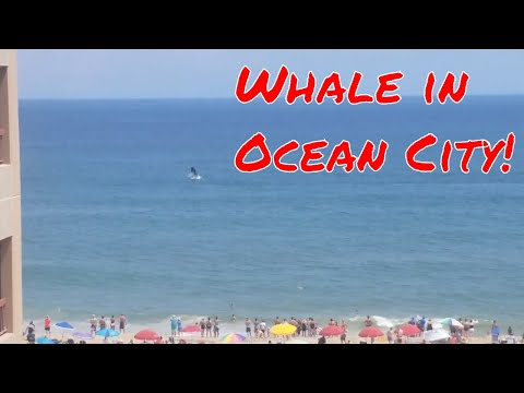 Whale Sighting Off The Beach Of Ocean City, Maryland!