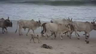 SENEGAL 2018 - bétail sur la plage - images jp gaslain