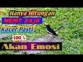 Masteran Kacer Emosi Cocok Untuk Burung Yang Baru Siap Mabung  Mp3 - Mp4 Download