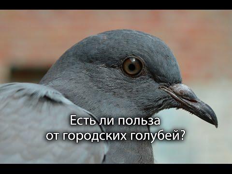 Есть ли польза от городских голубей?