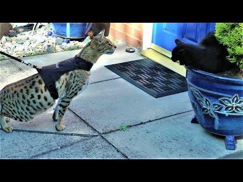 Sabian gets a SLAP    F2 Savannah cat