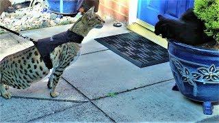 Sabian gets a SLAP || F2 Savannah cat