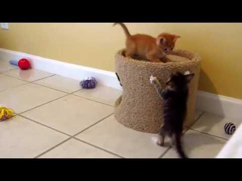 Three Tiny Foster Kittens Playing By Cat Condo - 4 Weeks Old